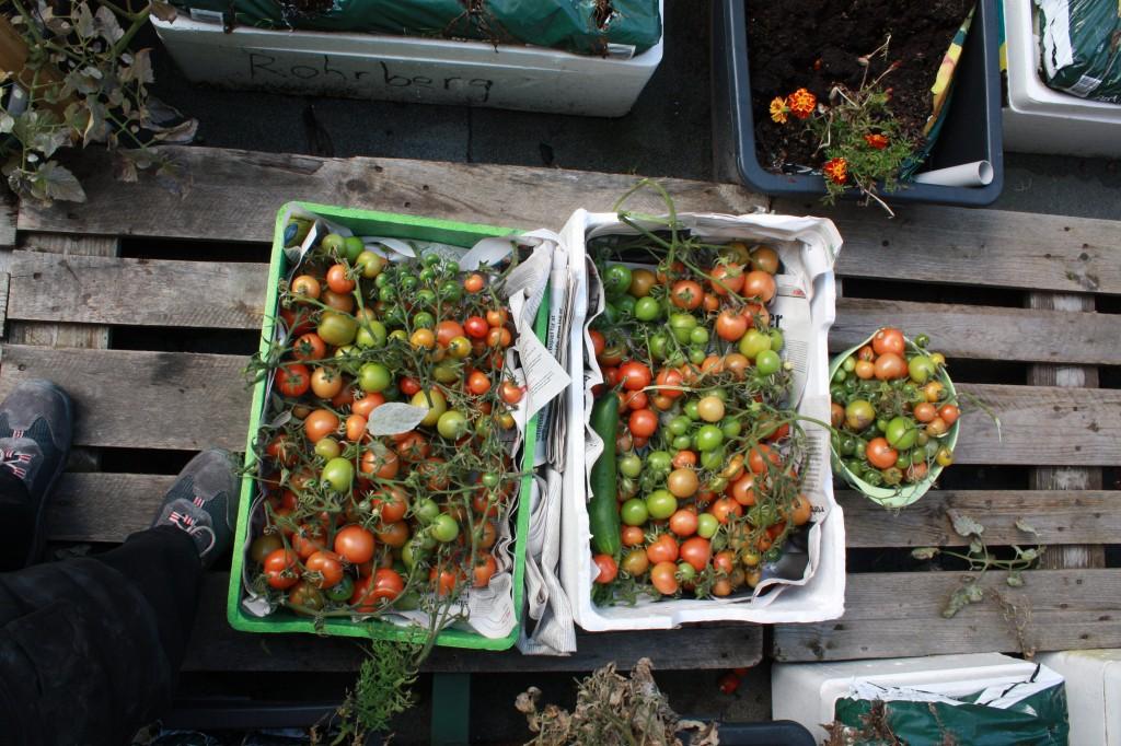 Årets sidste høst af to kasser tomater