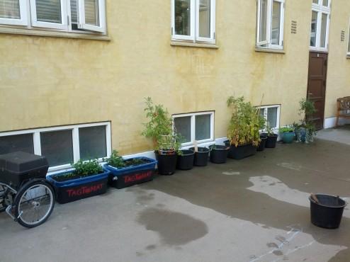 TagTomater og Mynte i baggård ved Tåsinge Plads