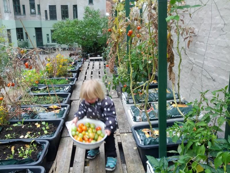 Høst af tomater på taget