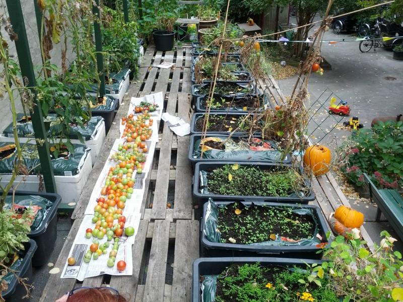 Årets høst af tomater / TagTomater 2013