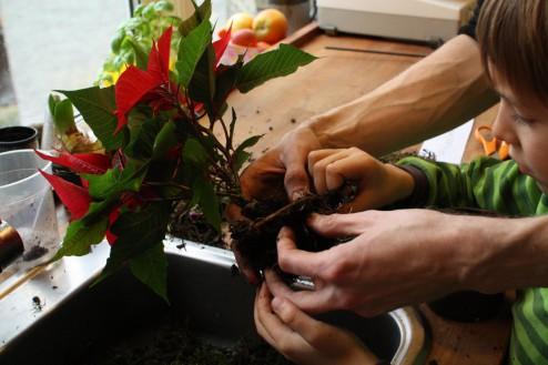 Fjern jord fra planten. Jo mere jord jo større kokedama. Tilføj evt. ler