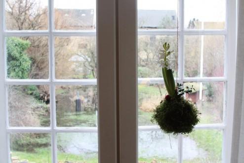 Hyacinth som værtindegave i Odense julen 2013