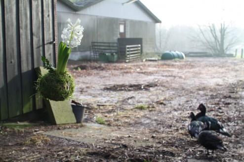 Hyacinth i Sdr. Højrup som værtindegave til julefrokost 2013