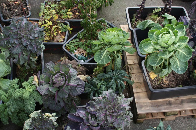 Kålplanter fra Grennesminde Gartneri