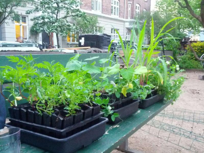 Tagethes, ærter, græskar og majs klar til udplantning maj 2013