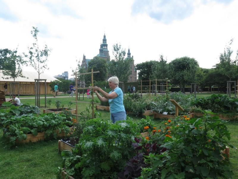 Bønner og tomatplanter bindes op af Vivi som er oraklet bag det grønne indhold i køkkenhaven.