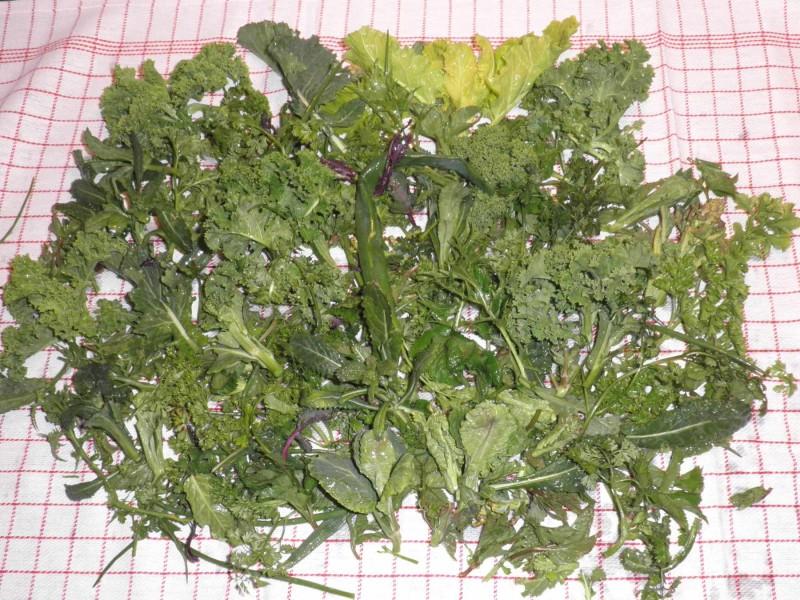 Høst af bladgrønt i slutningen af marts