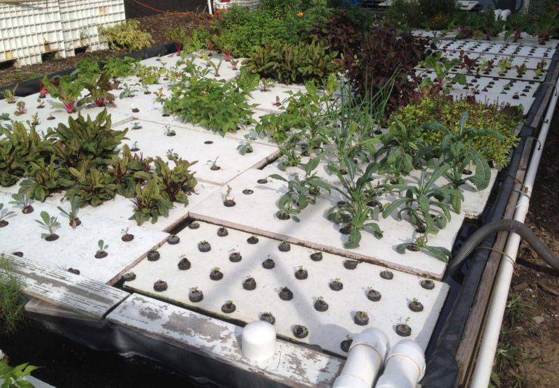 Aquaponisk anlæg hos Oko Farms i Bushwich, New York. Næringsstofferne til planterne kommer fra en dam/tank med fisk.