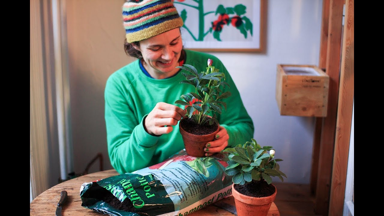 Gartner Anne Tange fortæller i denne video om julerosen, som faktisk slet ikke er en rose