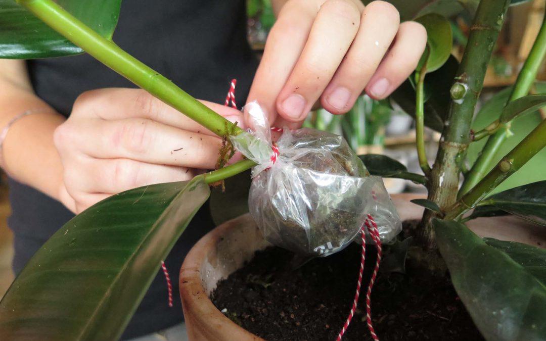 Kursusaften: stiklingeformering af dine indendørsplanter