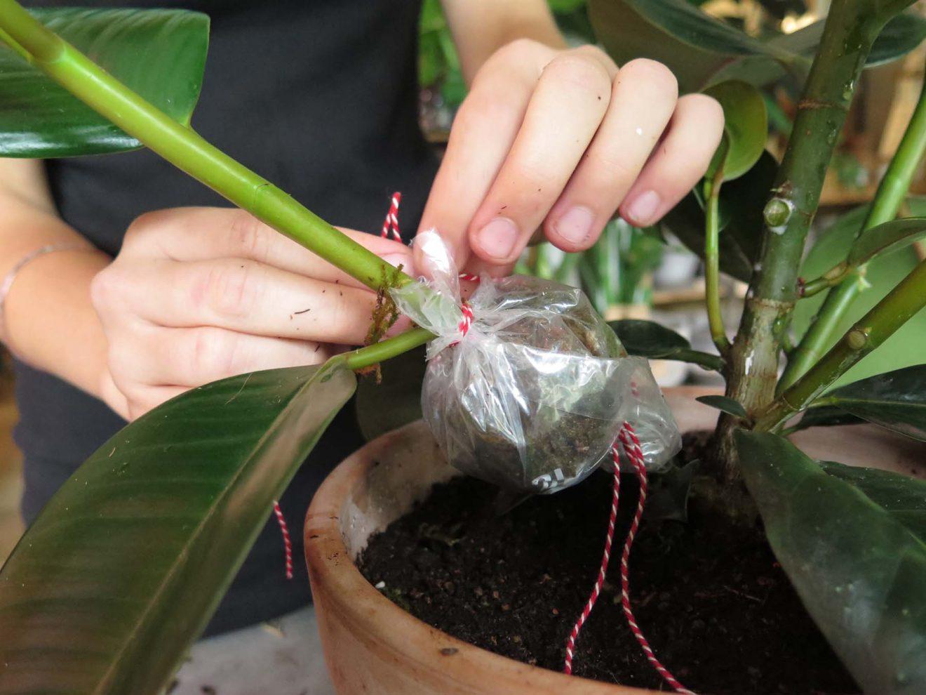 Stiklinger af indendørsplanter, pt. 2