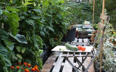 Et par røde tomater, en grøn agurk og artikel i Politiken