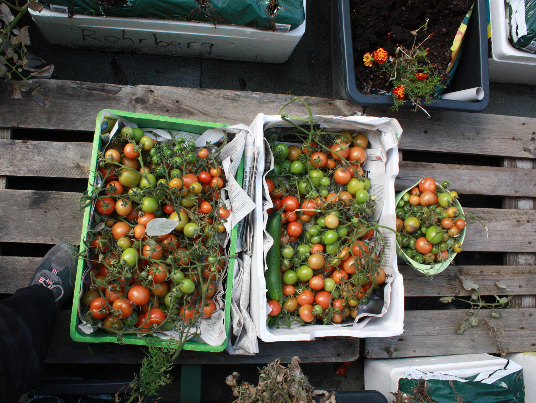 Årets sidste høst af to kasser tomater|||