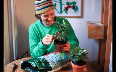 Plant juleroser med Anne Tange i pottemuld fra Champost