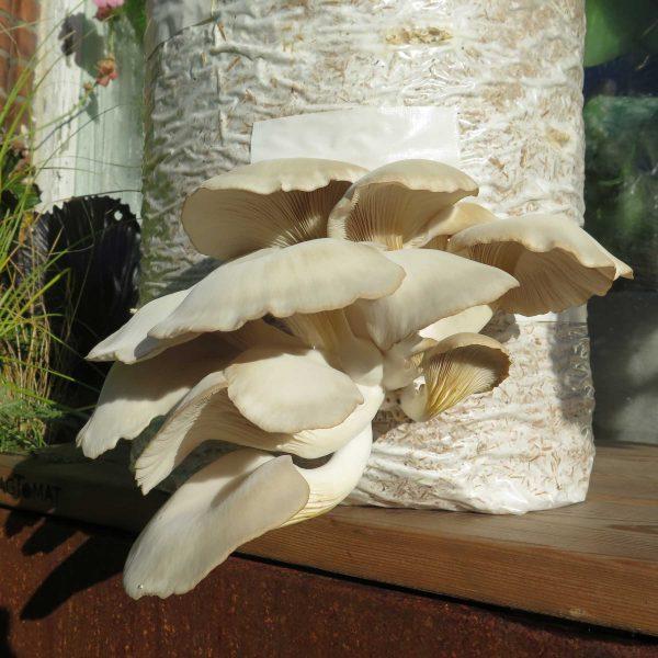 Dyrk Østershatte i svampesæk